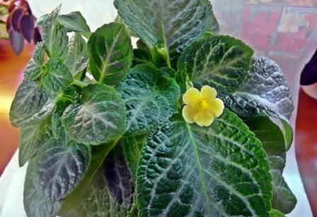 Эписция – широко распространенное растение из семейства геснериевых