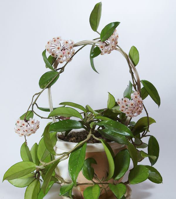 Хойя вполне миролюбивое растение, а западные страны называют её цветком любви или живой валентинкой
