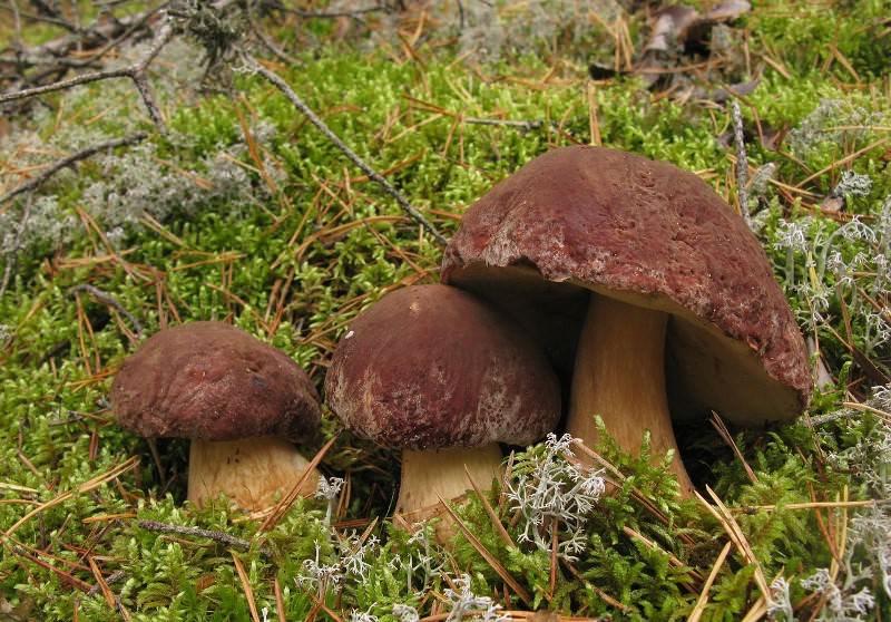 Трубчатые грибы можно собирать в лиственных, смешанных, хвойных лесах с начала лета и по середину осени