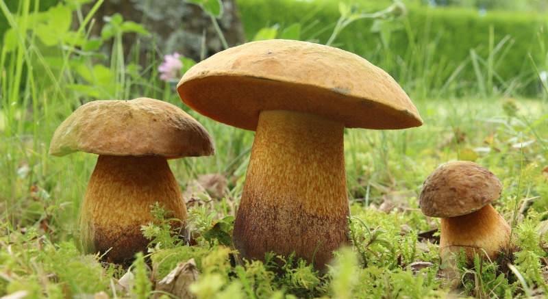 Очень вкусными грибами являются моховички