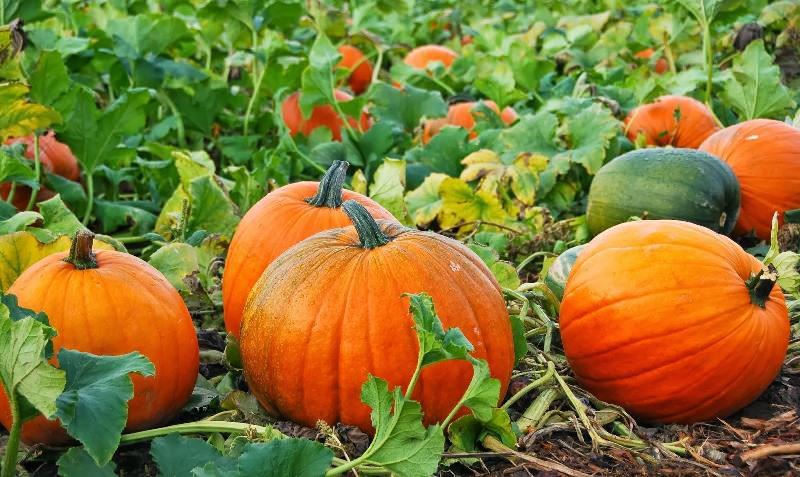 Правильный уход за тыквой гарантирует получение хорошего урожая в конце лета или осенью