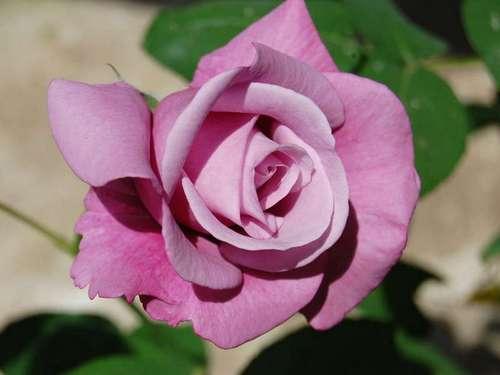 Роза Шарль де Голль относится к числу достаточно редких сортов