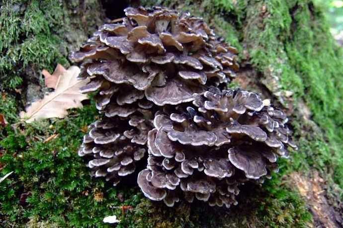 В каждом сростке гриба-барана насчитывается в среднем 80 мелких грибочков