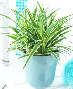Хлорофитум — весьма популярное в комнатном цветоводстве декоративное травянистое растение