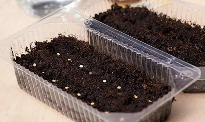 Посадка семян перца должна происходить неглубоко