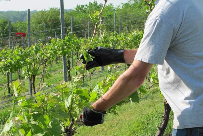 В молодых побегах винограда быстрее идет движение сока, и урожай вызревает скорее
