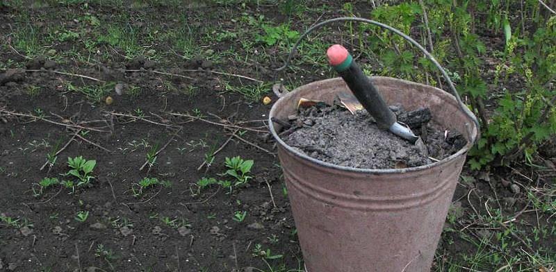 После того, как кусты виноградника закончили плодоношение, их следует подкормить, чтобы растения набрались сил перед зимовкой