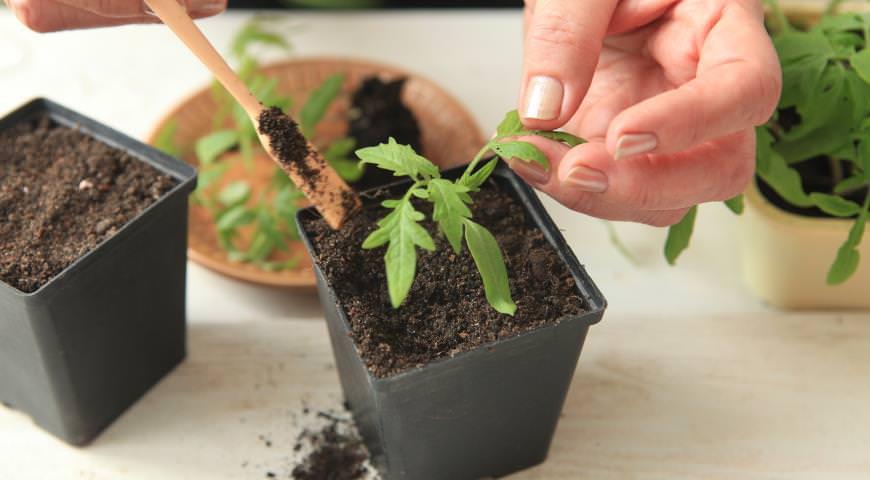 Когда рассада обзавелась настоящими листиками, тогда пришла пора пикировать молодые растения по отдельным горшочкам