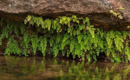 В странах Средиземноморья растет в диком виде во влажных местах, поблизости от источника воды