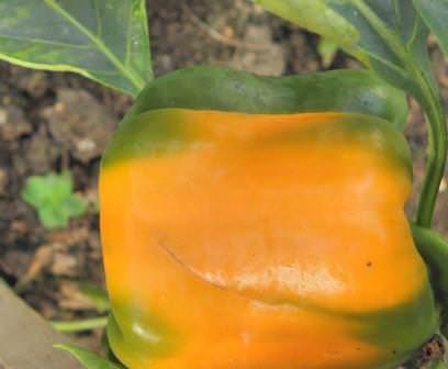 Перец Винни-Пух хорошо известен многим садоводам