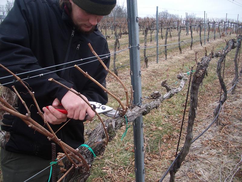 Подготовка винограда к зиме начинается с удаления всех листьев. Затем необходимо обрезать плодоносящие кусты