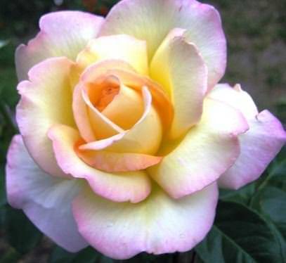 Глория Дэй прославилась и стала эталоном настоящей чайно-гибридной розы