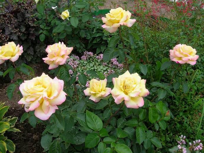 Место под посадку роз сорта Gloria Dei выбирают солнечное и открытое для свободной циркуляции воздуха