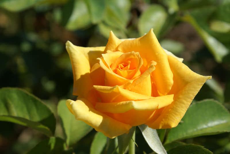 Роза Голден Моника относится к чайно-гибридным разновидностям