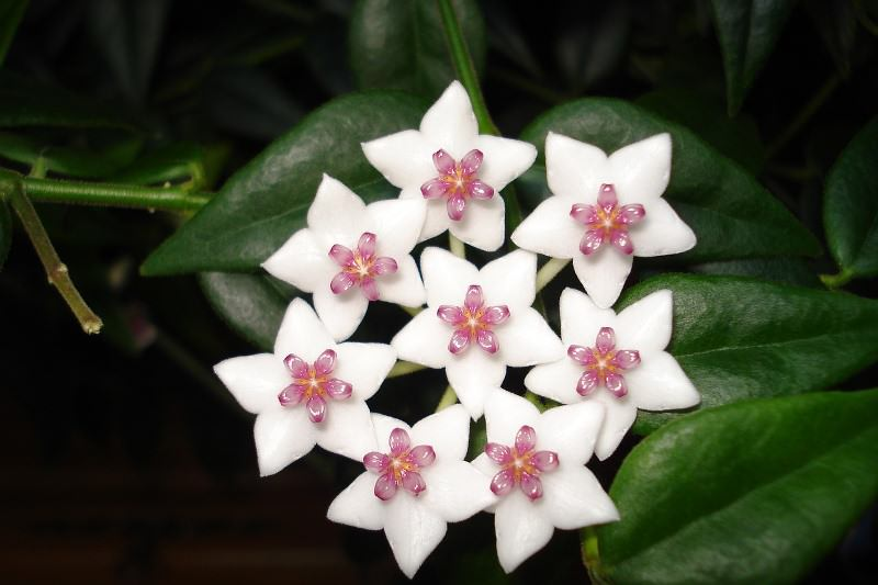 Цветки хойи похожи на искусственные украшения и очень красивы