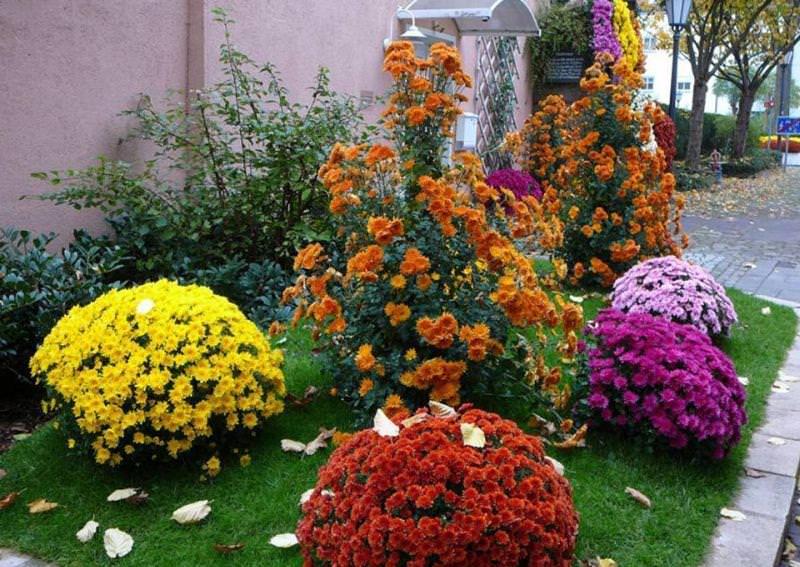 Осенью хризантемы подкармливают фосфорно-калийными удобрениями
