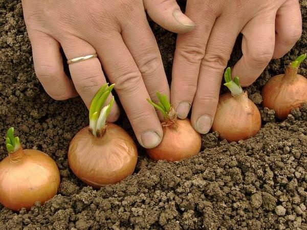 Чтобы получить хороший урожай следует сажать лук по лунному календарю