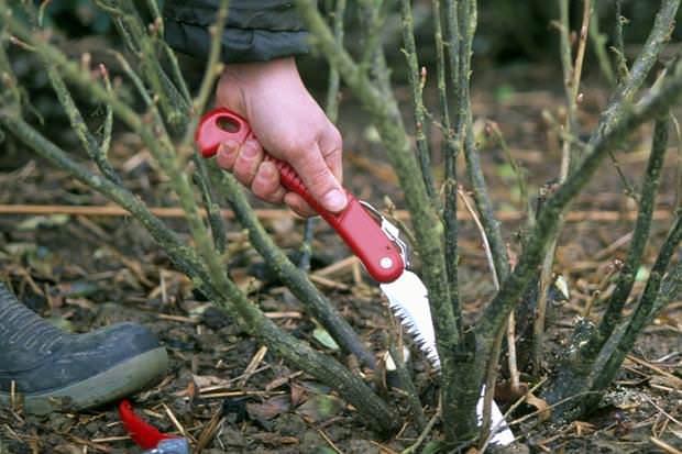 Через 6 лет удаляют старые ветки красной смородины, а также поникшие и слабые