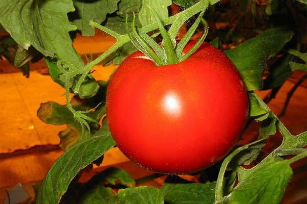 Джина – это одна из новейших детерминантных томатных разновидностей