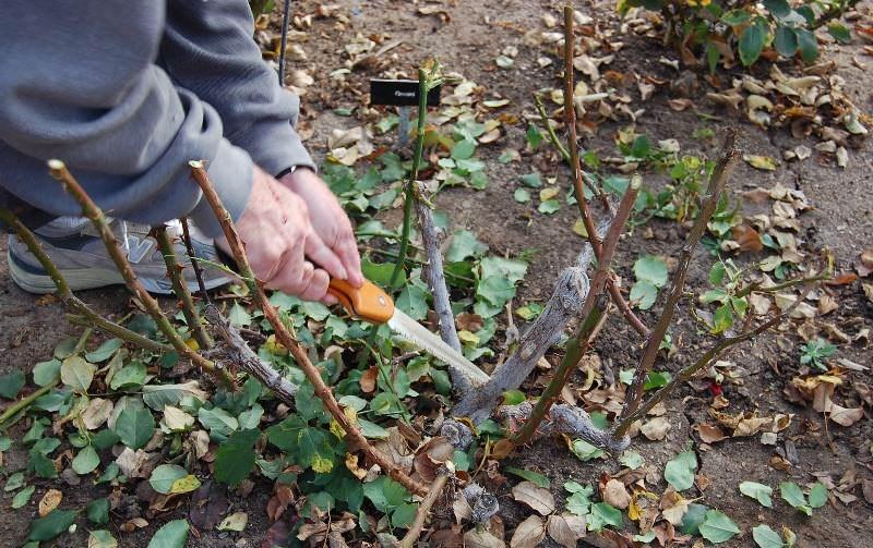Осенью розы обрезают в целях повышения устойчивости к холодам