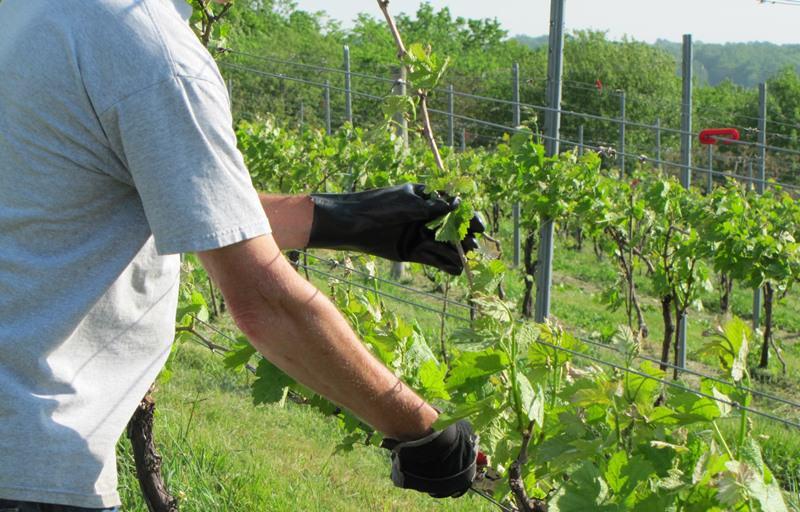 Проводя уход за молодым виноградом летом, следует запомнить, что земля вокруг ствола рыхлится несколько раз за вегетационный период.