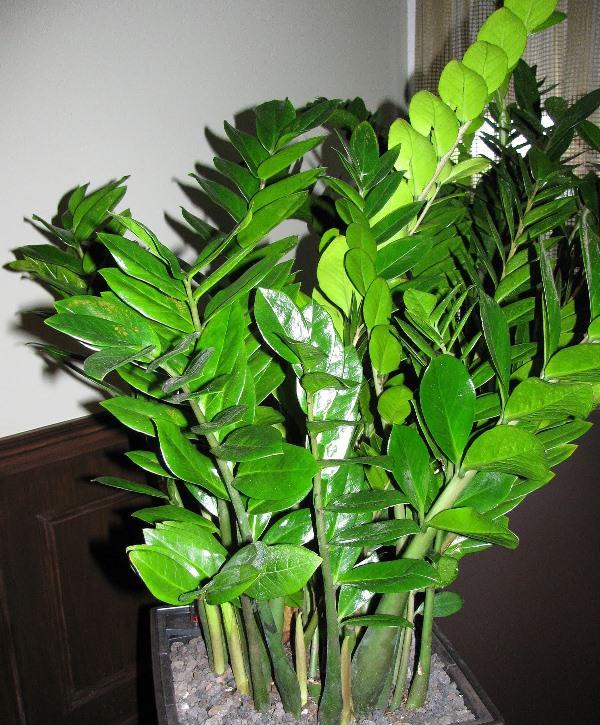 Толстые мясистые листья замиокулькуса воздействуют на приземленные меркантильные мысли о деньгах
