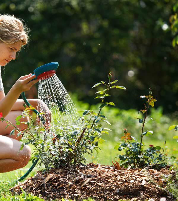 Кусты зеленых роз следует регулярно осматривать, чтобы вовремя обнаружить начинающиеся заболевания