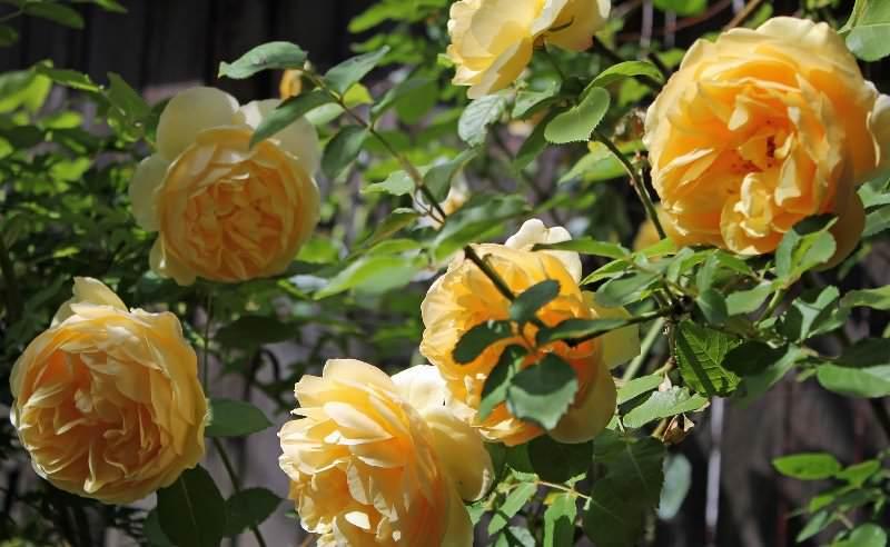 Graham Thomas отличается неповторимым и чистым жёлтым оттенком, цветёт на протяжении всего летнего сезона