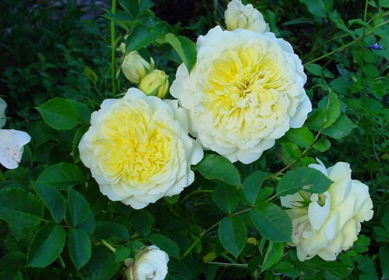 The Pilgrim – одна из самых красивых английских роз, цветки нежно жёлтого оттенка имеют шелковистые лепестки