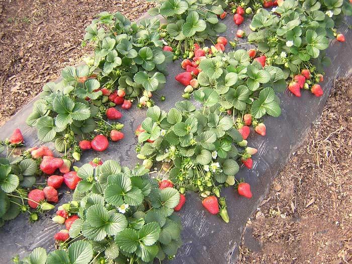 Наиболее распространено выращивание клубники на плёнке