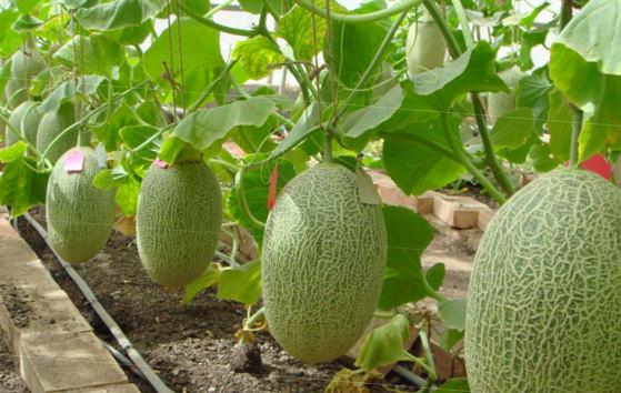 Выращивание дыни в теплице (видео)