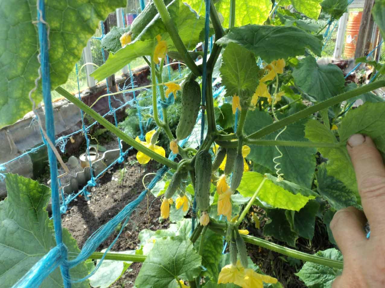 В процессе роста растения его стеблевую часть следует регулярно завивать по шпагату через одно междоузлие