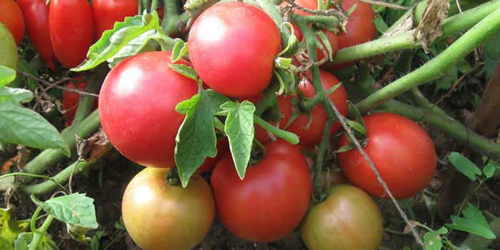 Розовые томаты являются идеальным вариантом для выращивания в теплице