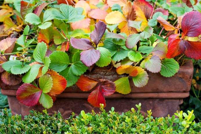 Красные листья осенью следует удалять в течение всего периода вегетации, так растение будет активно обновляться