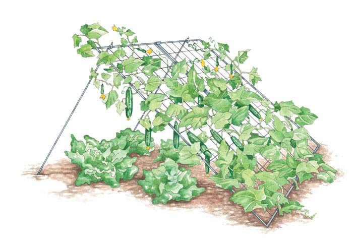 Такое расположение овоща позволит ему избежать различных инфекций, а пространство огорода будет занято равномерно