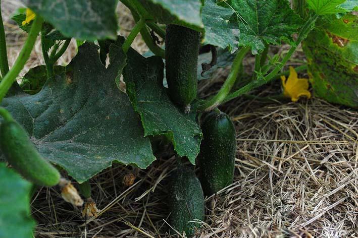 Для получения высокого урожая рекомендуется проводить мульчирование огурцов компостом или торфом. В итоге плоды лучше сохранят полезные элементы, а количество огурцов существенно увеличится