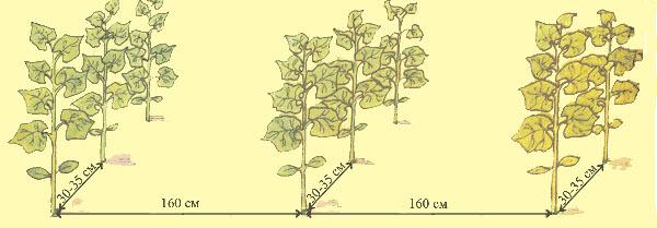 Сажать растения желательно по более свободной схеме, что позволит избежать затенения и благоприятно скажется на формировании завязей и созревании плодов