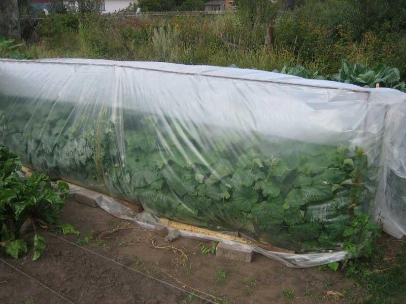 Защита овощной культуры от возвратных заморозков предполагает выполнение дополнительного укрытия растений посредством плёнки или лутрасила