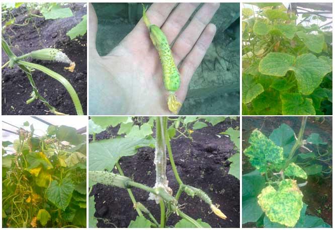 Пожелтение частей растения может быть вызвано болезнями или вредителями