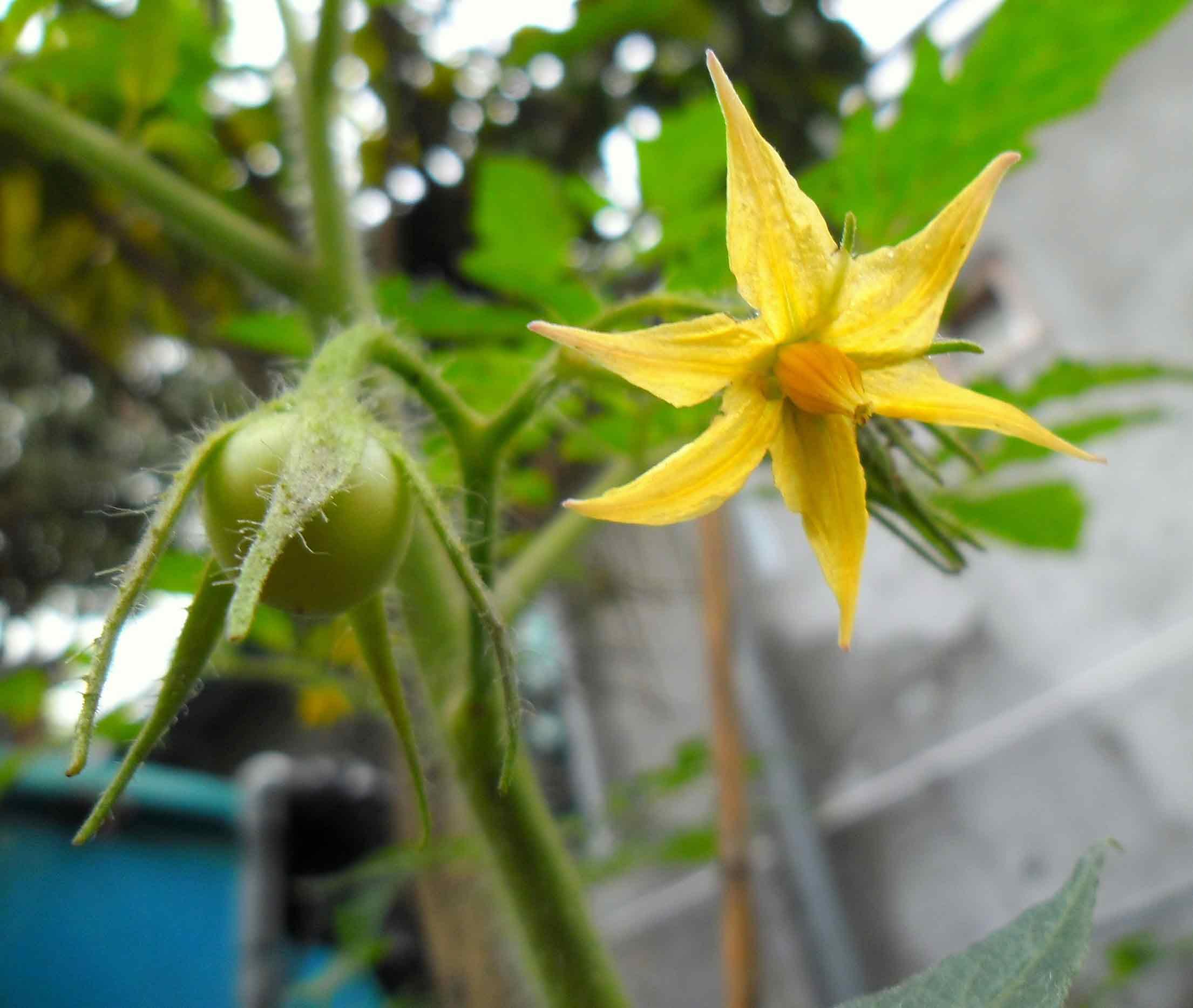 Именно в результате опыления происходит образование завязей и формирование помидоров