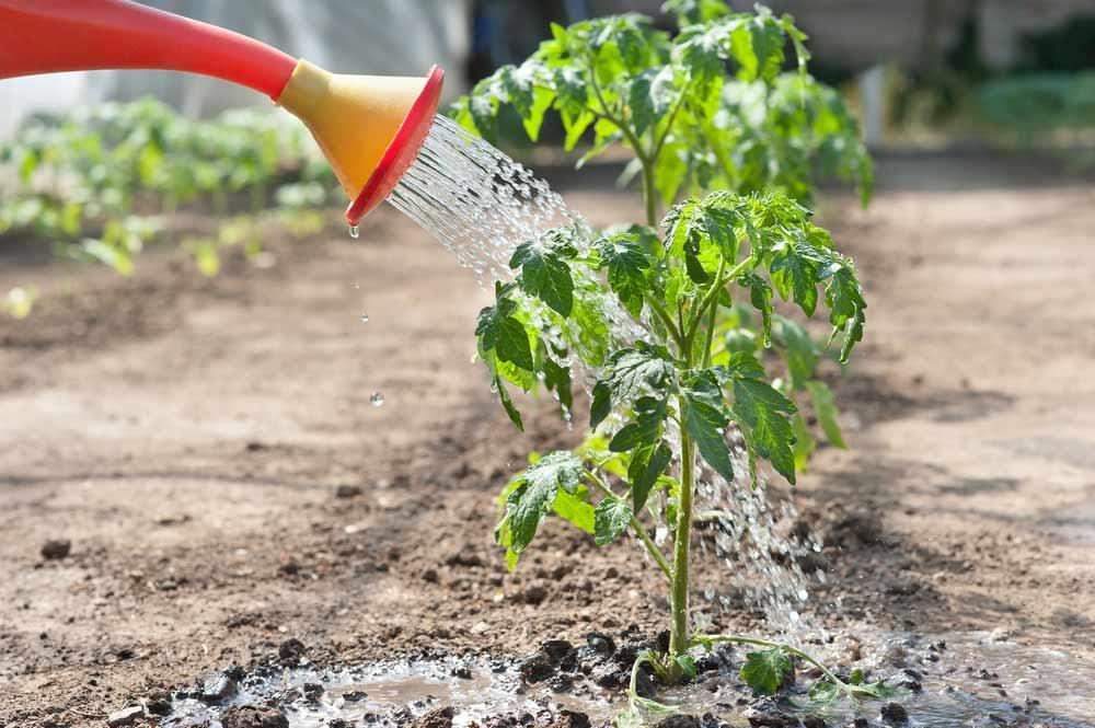 Для прорастания пыльцы производится увеличение влажности воздуха непосредственно после проведения процедуры опыления. Необходимо полить или опрыскать томаты, а затем проветрить теплицу