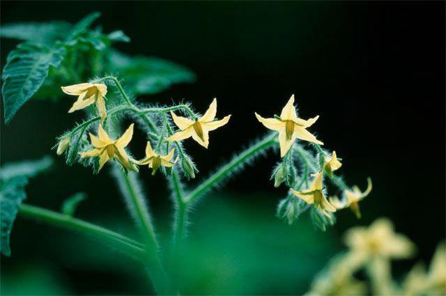 Ещё один секрет, способствующий повышению качества помидор, заключается в опрыскивании растений на этапе цветения раствором борной кислоты