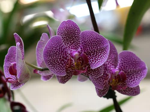 Тепличка для орхидеи фаленопсис (7 фото)