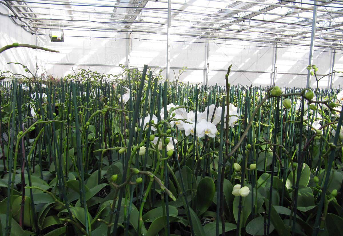 Орхидея фаленопсис выращивается не только в маленьких тепличках, но и в просторных крытых конструкциях