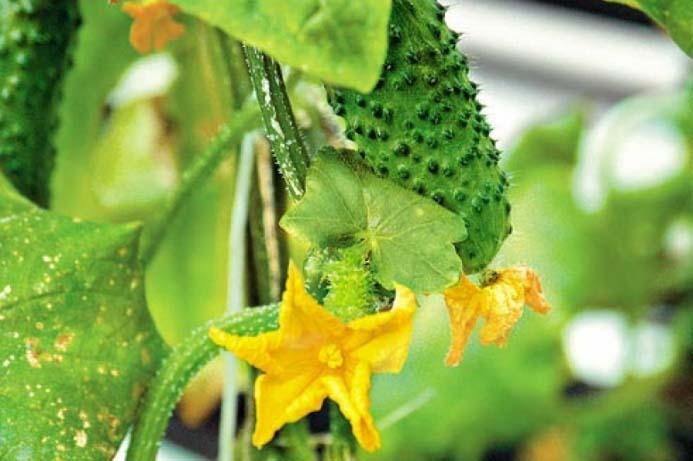 Недостаток влаги в тепличном грунте или нарушение режима влажности воздуха может привести к деформации листьев