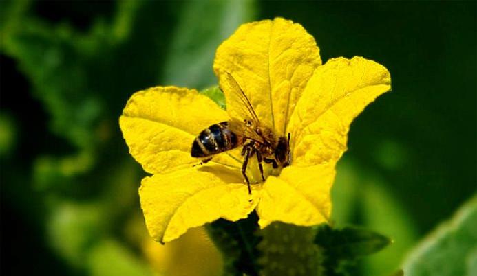Опыление посредством насекомых является основным вариантом естественного опыления