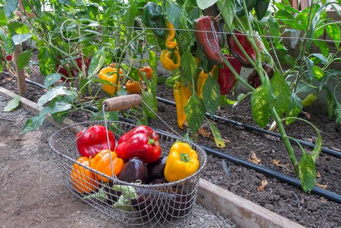 Для получения хорошего урожая требуется правильно ухаживать за растениями еще на этапе посадки и проводить подкормки удобрениями