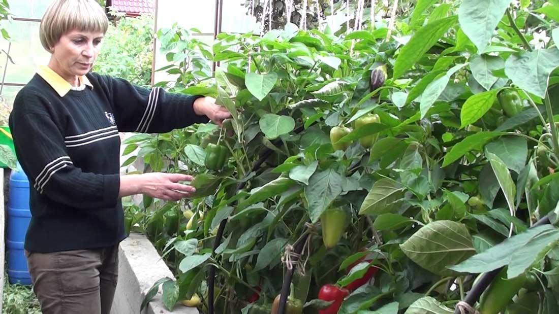 Подвязывание перцев необходимо только высокорослым сортам. С этой целью могут быть использованы методы, аналогичные выращиванию томатов, которые заключаются в обустройстве шпалеры