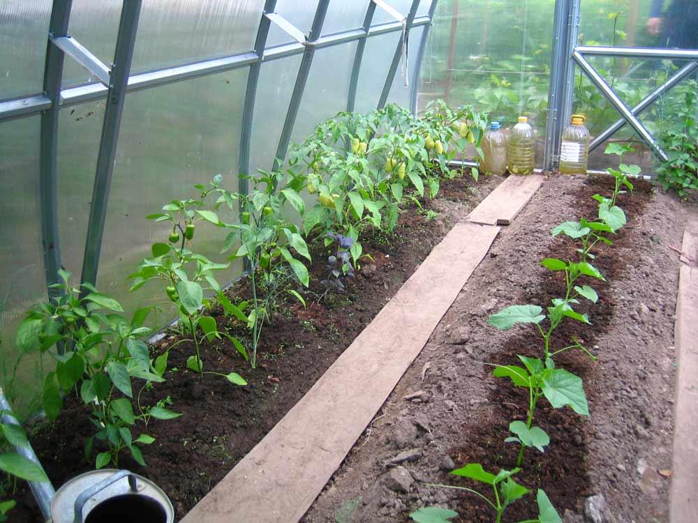 Особое внимание при выращивании как сладкого, так и острого перца следует уделять обеспечению оптимальных для роста и развития овощной культуры показателей температуры и влажности
