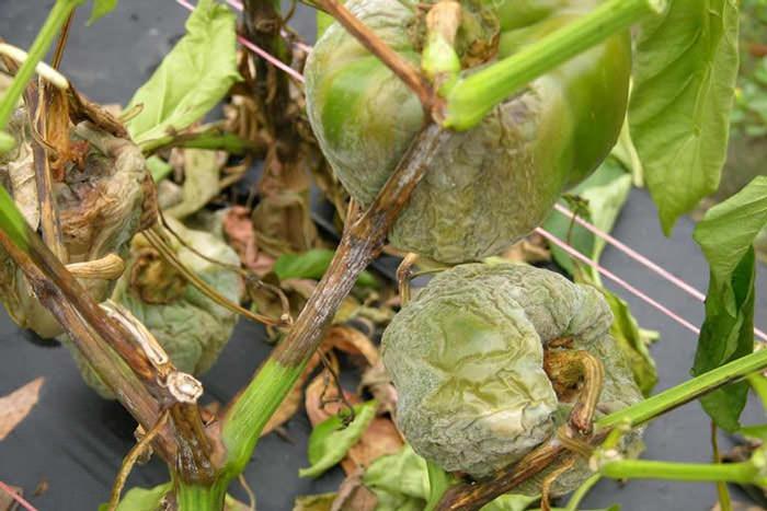 Наиболее часто растения в теплице желтеют в результате таких болезней, как чёрная ножка, вертициллезное или фузариозное увядание, септориоз, сухая или бурая пятнистость, серая гниль, склеротиниоз или фитофтороз